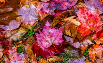 Nature Photos - Maple Leaf Carpet