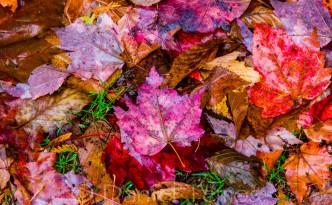 Nature Photos - Maple Leaf Carpet