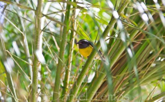 Nature Photos - Yellow Breasted Bananaquit Bird